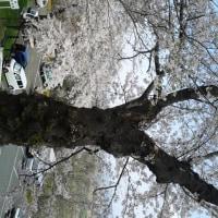 城山の桜は、散りはじめ