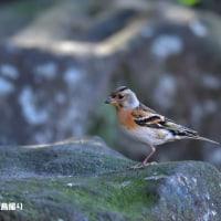 今日の野鳥・・アトリ・・近場に群れが・・【その1】。。