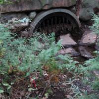 野火止用水探索・下見5 用水を覆う大ケヤキと、黒目川源流