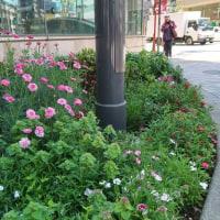 ●4/25 環境の緑化と美化報告 ルミネ前芝刈り他・・・の続き