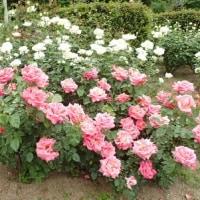 人間らしく暮らすには最低賃金1500円必要/花フェスタ記念公園のバラたち@可児
