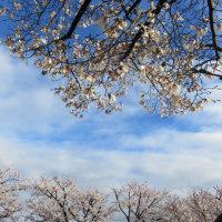 桜満開と小さな白いイカリソウ