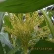トウモロコシの雄花と雌花