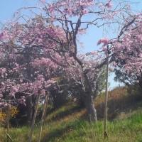 野々池貯水池の枝垂れ桜