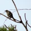 7/24探鳥記録写真-2(はまゆう公園の鳥たち:ウグイス、ホオジロ)