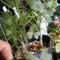 Oxalis virgosa Molina(syn. Oxalis gigantea Barn.)