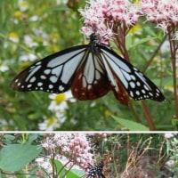 旅する蝶 「アサギマダラ(浅葱斑)」