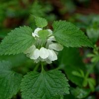 4月の花 オドリコソウ 2