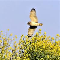 今日の野鳥   カワセミ・エナガ・コミミズク