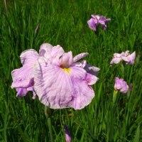 ショウブが開花。
