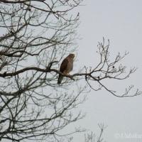 来た鳥 「サシバ」 ようやく出会えました。