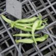 今日の収穫 トマト シロウリ キュウリ ナス オクラ インゲン ネギ ニラ バジル うまい菜 青ジソ