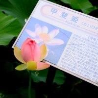 古代蓮の開花-2(6月25日)