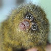 【サル界元最小】ネットで見つけたピグミーマーモセットの画像が思った以上に可愛かった件