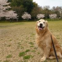 麿呂の居ぬ間の桜