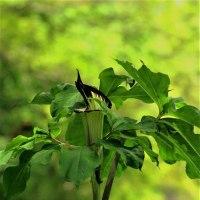 今日の野鳥   オオルリ・カワガラス・キビタキ