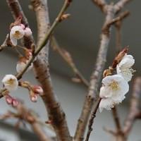 裏庭のサクランボは、昨日「開花」です