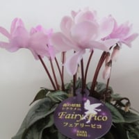 森の妖精シクラメン・フェアリーピコ
