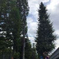 東京都による放5整備で、大規模な街路樹伐採が始まります