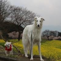 篠窪(しのくぼ)で木村 拓哉の様なカッコイイ犬達が花見していました 2017/03/29