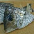 メイチ鯛(目白鯛)