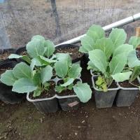 畑の野菜達