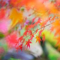 風に運ばれた紅葉は、一瞬だけ自由に空を飛ぶのでした。 @太宰府天満宮