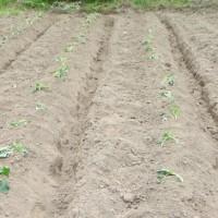春野菜の苗の移植を終る