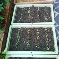 花壇へ ペチュニア マリーゴールド
