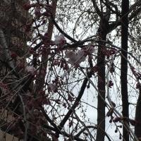 京都のサクラ 〜 極私的・開花宣言