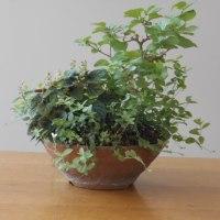 初夏の作品作りと会員の作品を紹介 「草もの盆栽5月の例会」