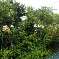 アルミ遮光ネットでキンリョウヘン・ランの夏越し/夏の草対策に防草シート。