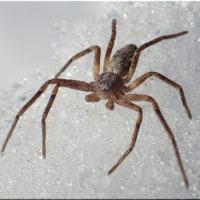 雪の上の蜘蛛