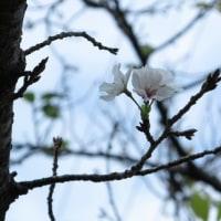 3輪咲いた桜の花を撮ってきました