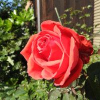 きょうの薔薇1118