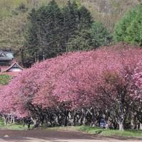 """""""石崎地主海神社""""の八重桜、7分咲き?..."""