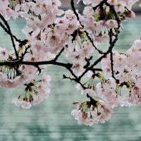 聖天さんの桜