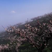 朝霧の梅園