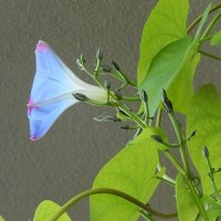 やっと咲いた、ヘブンリーブルー