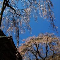 円正寺のシダレザクラ2