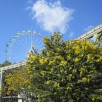 満開のミモザ~到津の森公園