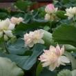 家原寺の蓮の花
