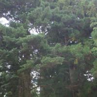 群馬県嬬恋村、鳴尾の熊野神社大杉です!!