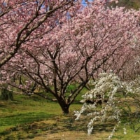 桜咲き雪柳と