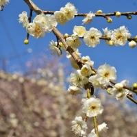 梅の宴(湯河原梅林)