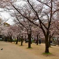 大阪城公園のサクラ風景・・・最終回