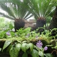 鎌倉の紫陽花