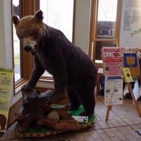 春は注意! Brown bear