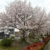 春 爛漫 *桜 満開