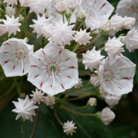 カルミアの花